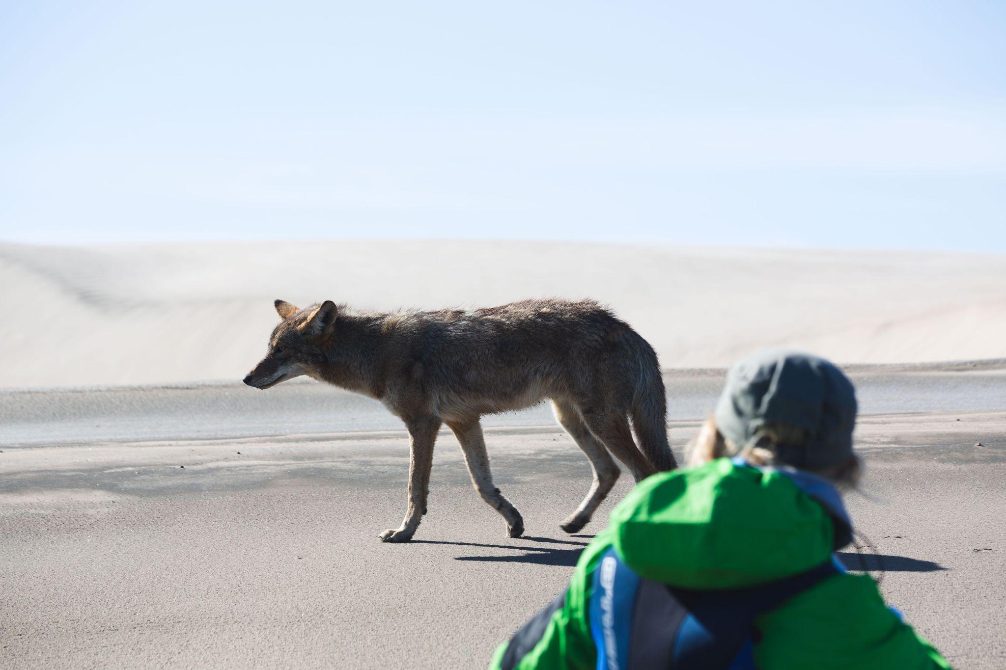 Coyote Puerto San Carlos